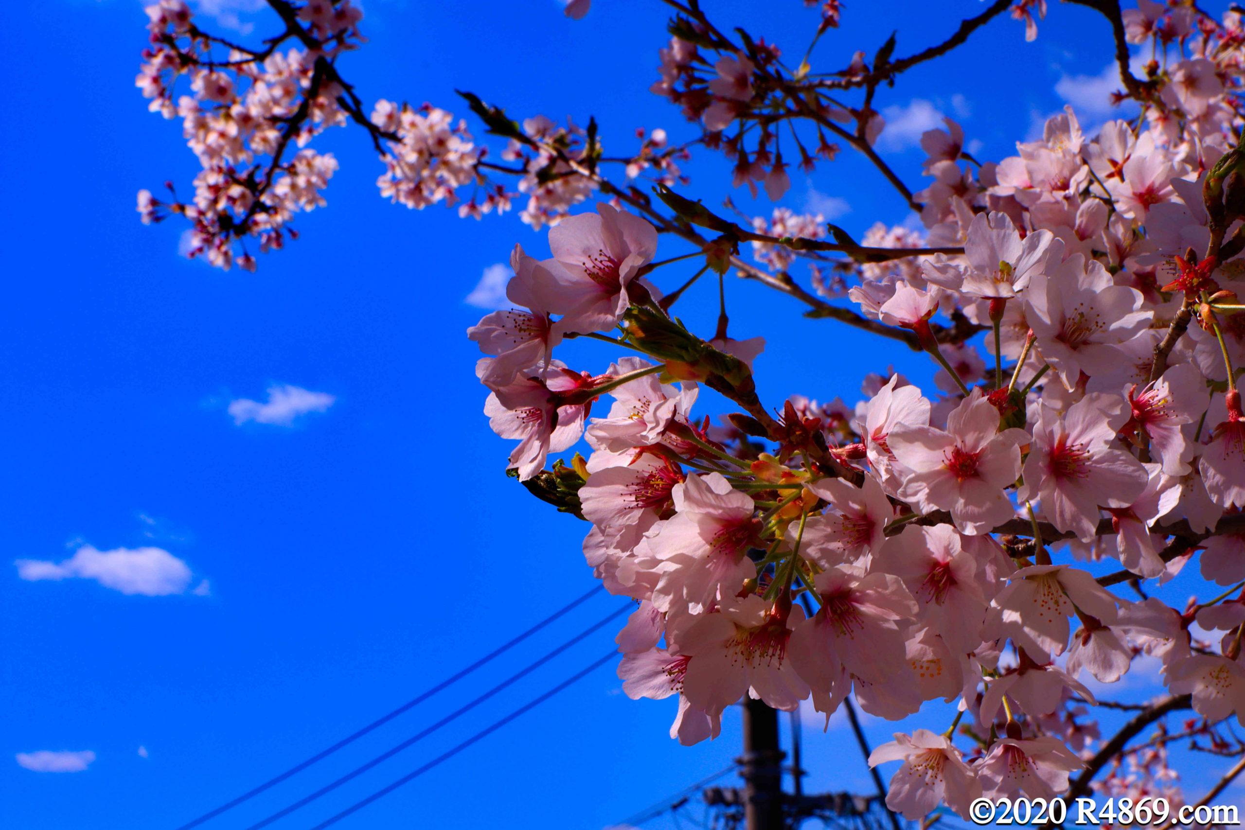 東広島 桜